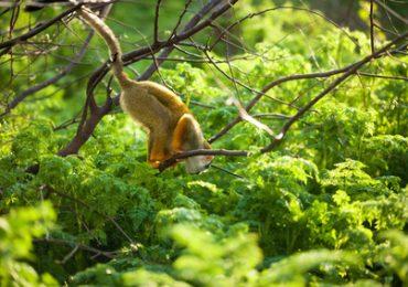 Affe im Amazonas von Peru