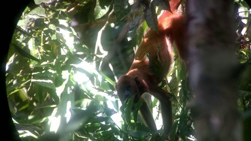 Brüllaffe im Dschungel