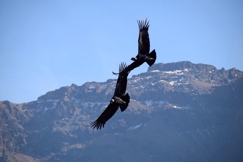 Colca Condore