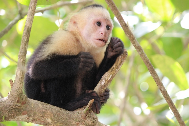 Tag 7 Kapuzineräffchen im Nationalpark Manuel Antonio