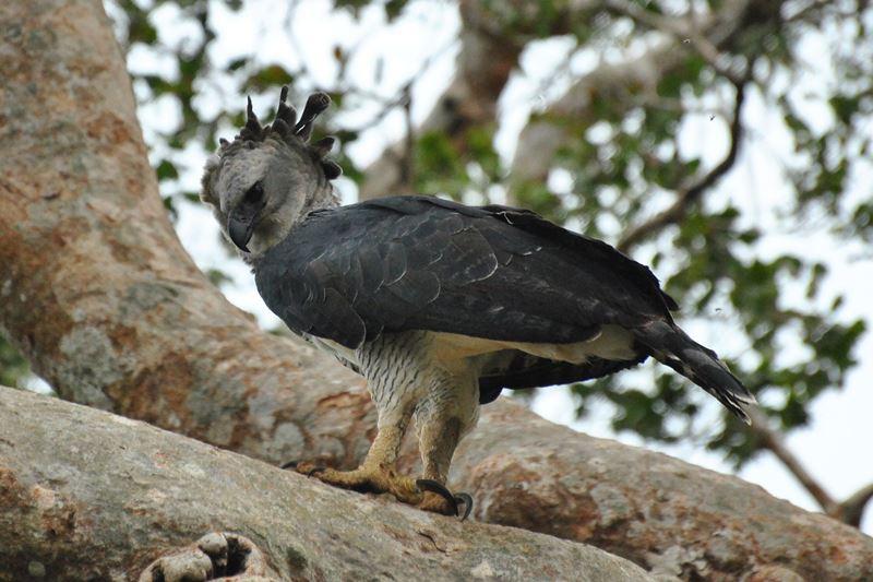 Harpien Adler